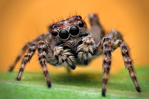 paianjen tarantula